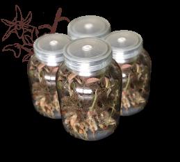 金线莲组培瓶苗